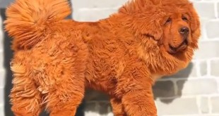 le chien le plus cher au monde Big Splash