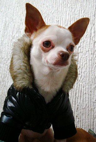 Chihuahua manteau