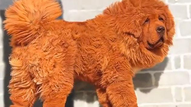 mastiff du tibet le chien le plus cher au monde viaprestige lifestyle. Black Bedroom Furniture Sets. Home Design Ideas